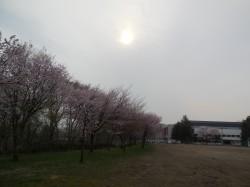 作業前の桜