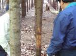 鹿に削られた木